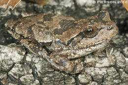Image of Pine Woods Treefrog