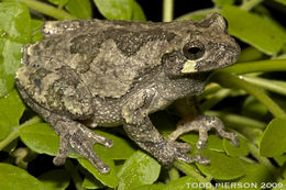 Image of Gray Treefrog