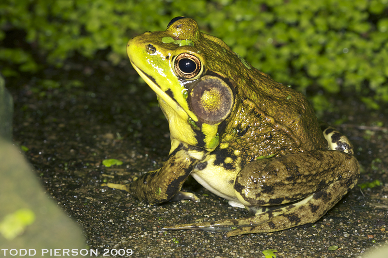 Image of Bronze Frog (<i>R. c. clamitans</i>)