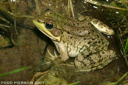 Image of Bronze Frog