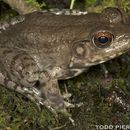 Image of River Frog