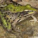 Image of Florida Leopard Frog (<i>R. s. utricularius</i>)