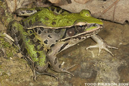 Image of southern leopard frog