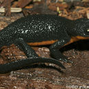 Image of Western North American newts