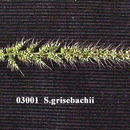 Image of Grisebach's bristlegrass