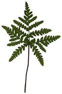 Image of goldback fern