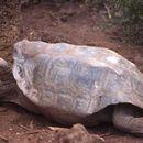 Image of Espanola giant tortoise