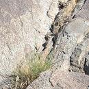 Image of crabgrass
