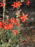 Image of <i>Ipomopsis arizonica</i> (Greene) Wherry