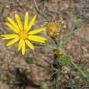 Image of slender goldenweed