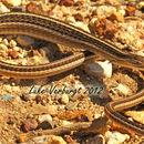 Image of Snake lizards