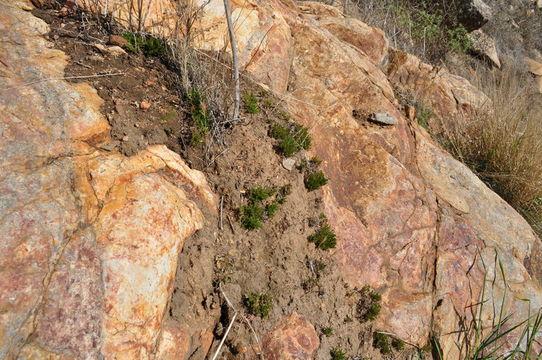 Image of bushy spikemoss