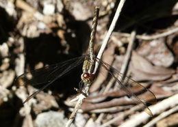 Image of Band-winged Dragonlet