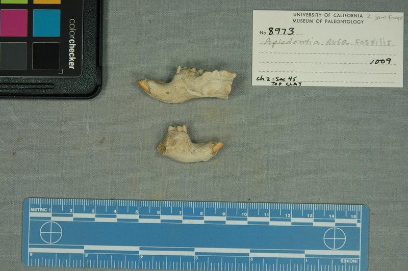 Image of <i>Aplodontia rufa</i> ssp. <i>fossilis</i>