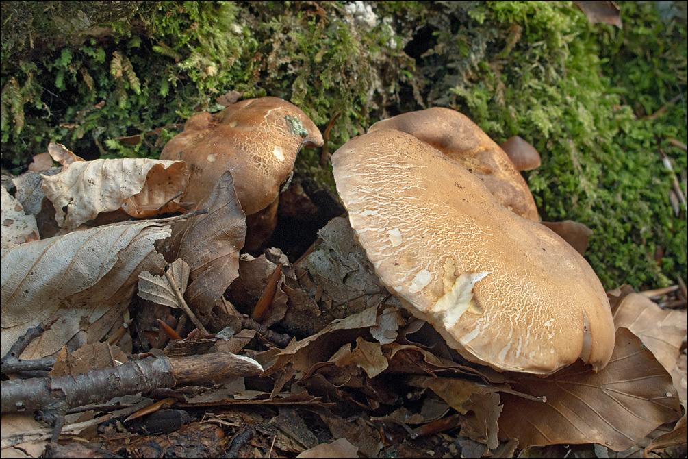 Image of <i>Gyroporus castaneus</i> (Bull.) Quél. 1886
