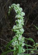 Image of fringed amaranth