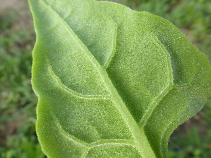 Image of New Zealand spinach