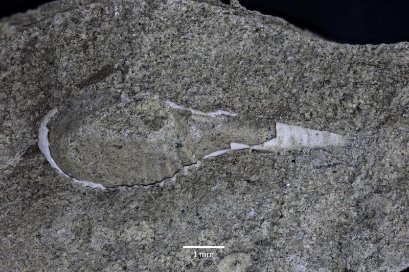 Image of <i>Cardiomya pavascotti</i> Hickman 2014