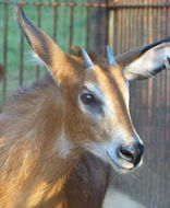 Image of Red Serow
