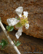 Image of ragged rockflower