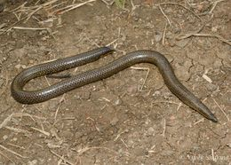 Image of Elliot's Earth Snake