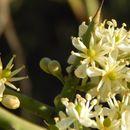 Image of Koeberliniaceae