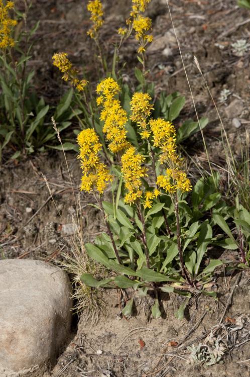 Image of Mt. Albert goldenrod