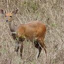 Image of Bushbuck