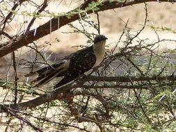Image of Great spotted cuckoo