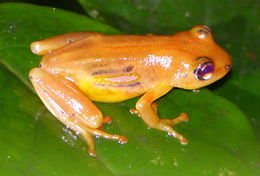 Image of Spotted reed frog
