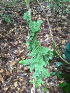 Image of Oregon lung lichen