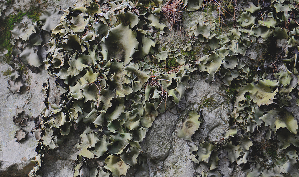 Image of navel lichen