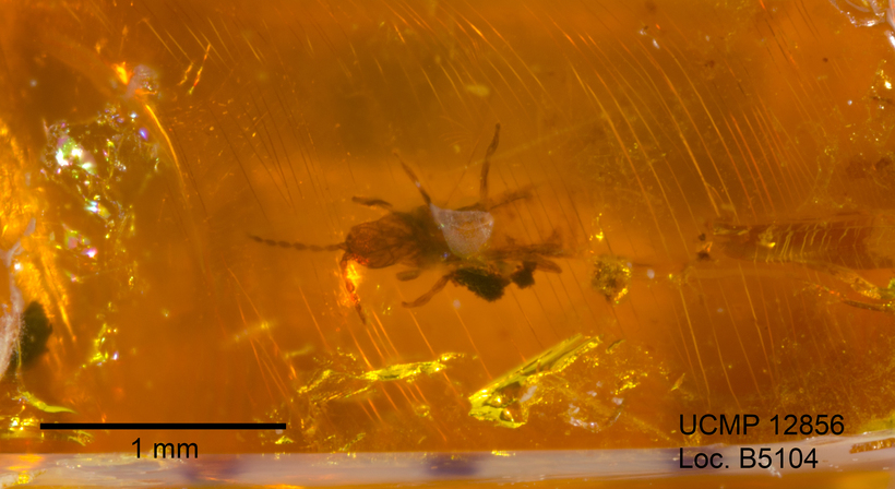 Image of tube-tailed thrips