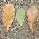 Image of <i>Quercus obtusata</i> Bonpl.