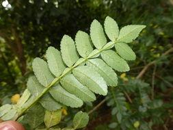 Imagem de <i>Weinmannia pinnata</i> L.