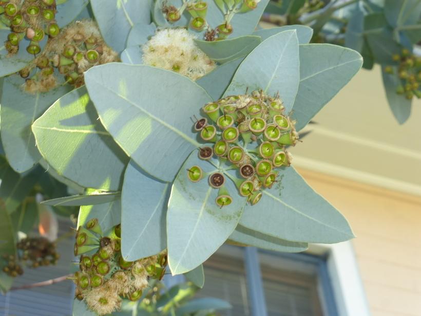 Image of <i>Eucalyptus pruinosa</i> Schau.