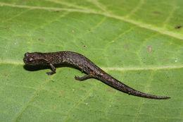 Image of Townsend's Dwarf Salamander