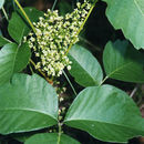 Image of western poison ivy