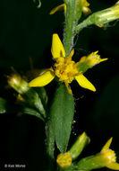 Image of <i>Solidago flexicaulis</i> L.