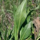 Image of <i>Solidago rigida</i> ssp. <i>humilis</i> (Porter) S. B. Heard & Semple