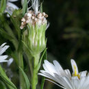 Image of white panicle aster