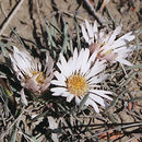 Image of stemless Townsend daisy