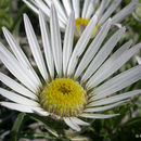 Image of largeflower Townsend daisy