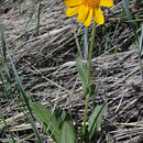 Image of foothill arnica