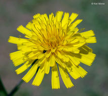 Image of narrowleaf hawkweed