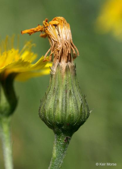 Image of narrowleaf hawkweed