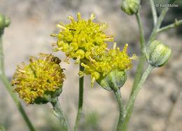 Image of manyhead hymenopappus
