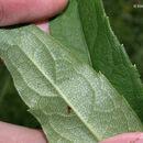 Image of <i>Silphium asteriscus</i> var. <i>trifoliatum</i> (L.) J. A. Clevinger