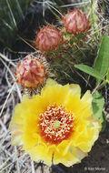 Image of <i>Opuntia <i>polyacantha</i></i> var. polyacantha