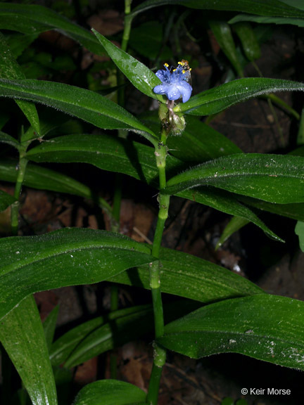 Image of zigzag spiderwort